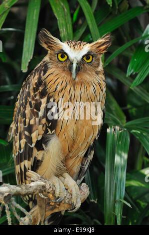 Buffy Fish-owl (Ketupa ketupu), Strigidae, Asia - Stock Photo