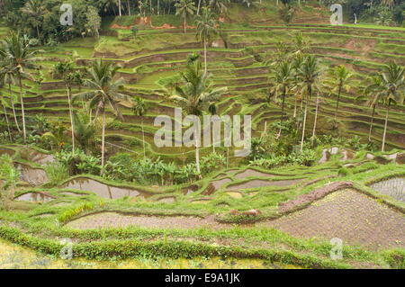 Rice terraces in a viewpoint at Tegallalang, 12 km from Ubud. Bali. Rice field located around the Kaki Gunung temple - Stock Photo