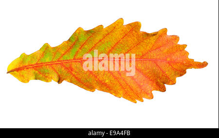 Close-up of  autumn oak leaf on white - Stock Photo