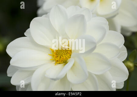 White dahlia species - Stock Photo
