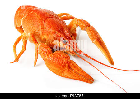 large red lobster isolated on white cooked large lobster in