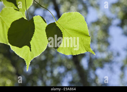 Green leaves on a linden tree in back-light - Stock Photo