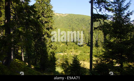 Coniferous forest, Est Europe, Carpathian mountains. - Stock Photo