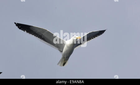 Flying kelp gull (Larus dominicanus), also known as the Dominican gul and Black Backed Kelp Gull. False Bay, South - Stock Photo