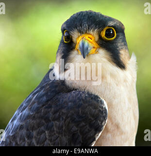 Close up  Portrait of Lanner falcon (Falco biarmicus) - Stock Photo