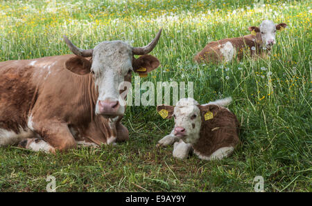 Domestic Cattle (Bos primigenius taurus) with calves resting in a pasture, Thuringia, Germany - Stock Photo