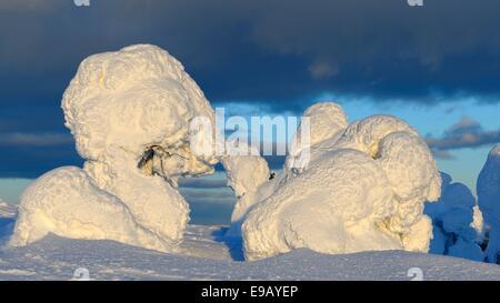 Snow-covered pines in Rukatunturi, Kuusamo, Lapland, Finland - Stock Photo