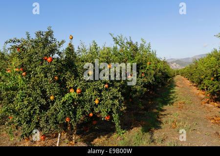 Plantation, Pomegranate Trees (Punica granatum), Dalyan, Aegean Region, Turkey - Stock Photo