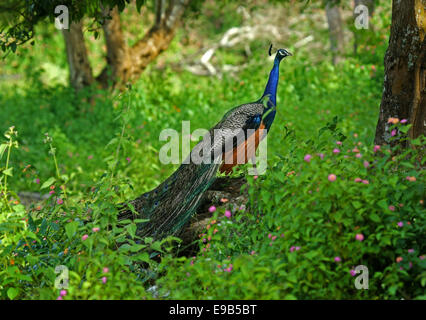 peacock in green - Stock Photo