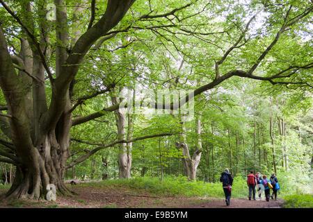 Old beech tree [Fagus sylvatica], [Wytham Woods], Oxfordshire, UK - Stock Photo