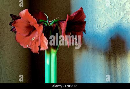 Red amaryllis hippeastrum flower - Stock Photo