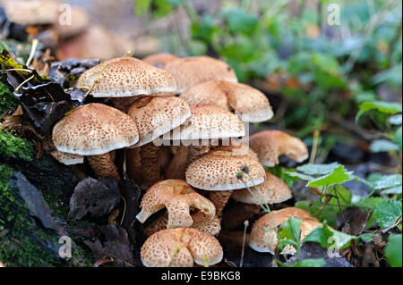 fungi growing from a tree in autumn in uk woodland - Stock Photo