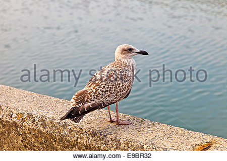 Close up of first year European Herring Gull Larus argentatus on wall near water. Concepts: young, new, immature, - Stock Photo