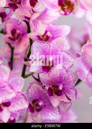 Orchid pink with speckled mauve petals, column, throat and lip. - Stock Photo
