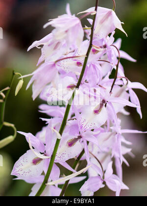 Orchid multiple light mauve flowers with darker mauve speckled petals, column, throat and lip. Isolated background. - Stock Photo