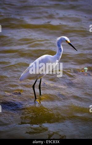 snowy egret fishing - Stock Photo
