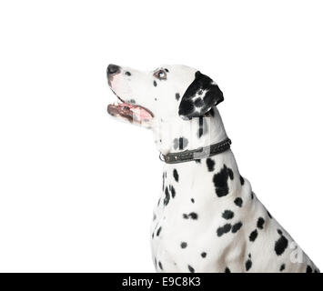 Dalmatian dog with black and white spots in profile. Looking away from camera and waiting for command. - Stock Photo