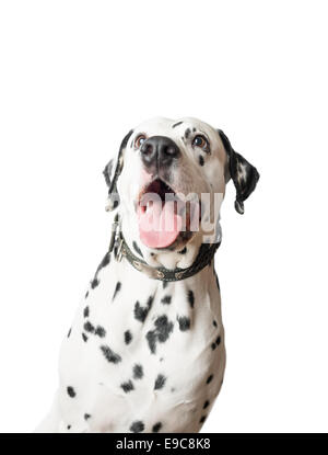 Dalmatian dog with open mouth and tongue hanging out, looking with eyes wide open away from camera. - Stock Photo
