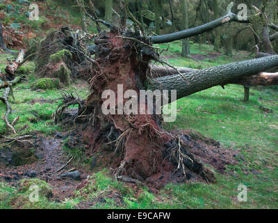 Fallen uprooted tree in woodland setting.  Roots lifted out of the ground - Stock Photo