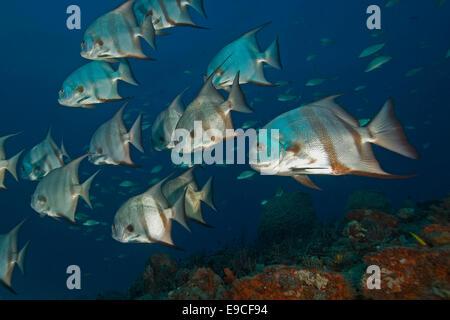 Tropical spade fish at florida keys coral reef stock photo for Florida tropical fish