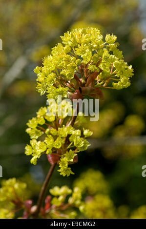 Flower on an ornamental red leaved maple tree, Acer red-stemmed with acid gree / yellow flowers - Stock Photo