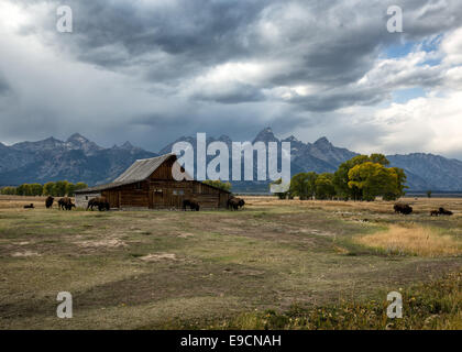 Buffalo grazing near one of the Moulton Barns on Mormon Row with the mountains behind,  Grand Teton National Park, - Stock Photo