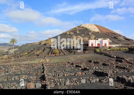 Winery beyond a field of vines growing in volcanic ash protected by walls in vineyards of La Geria, Lanzarote, Canary - Stock Photo