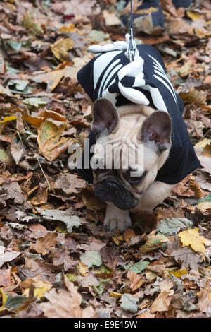 London, UK. 26 October 2014. Dogs dressed in Halloween costumes and their owners, some also in costume, gathered - Stock Photo