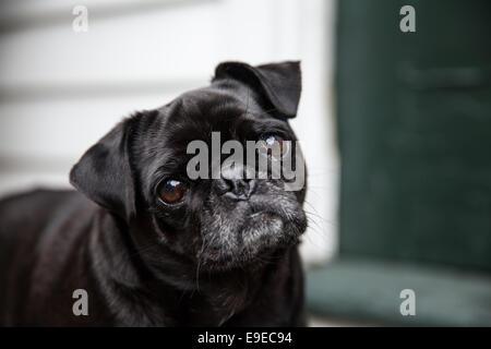 Black Pug - Stock Photo
