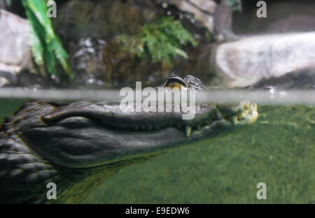 Caiman crocodilus in water - Stock Photo