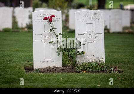 Red roses in front of a gravestone at Essex Farm Cemetery, Ypres, Belgium. - Stock Photo