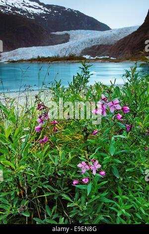 Fireweed at shore of Mendenhall Lake and Mendenhall Glacier, Juneau, Alaska, USA - Stock Photo