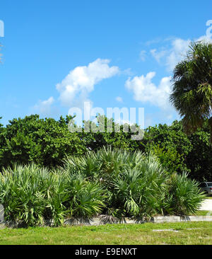 Florida Tropical Foliage Saw palmetto trees, palm trees, and sea grape bushes are typical Florida landscape plants. - Stock Photo