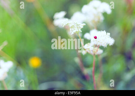 Insect (ladybug) on a flower. - Stock Photo