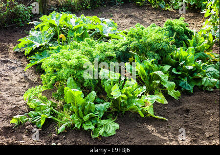 Green vegetables growing in a small  garden - Stock Photo
