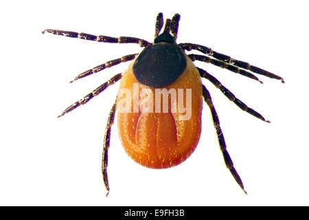 Micro Photo of a Tick - Stock Photo