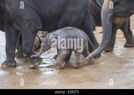 Baby elephant in herd - Stock Photo