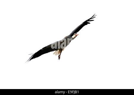 Stork flying isolated on white - Stock Photo