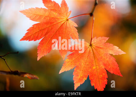 brilliant autumn colour of the changing maple leaf Jane Ann Butler Photography JABP1314 - Stock Photo