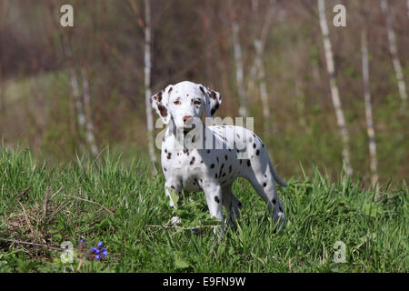 Dalmatian puppy dog - Stock Photo