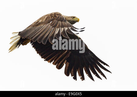 Adult White-tailed Sea Eagle flying over the sea hunting for fish on the Isle of Mull, Scotland - Stock Photo
