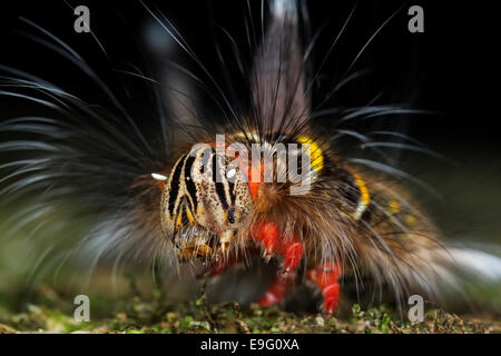 Close up of brightly coloured hairy caterpillar of Lasiocampidae species in tropical rainforest of Borneo - Stock Photo