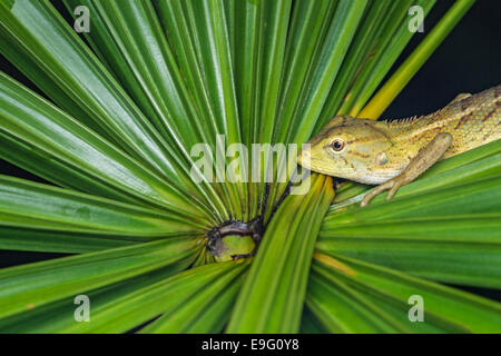Changeable lizard (Calotes versicolor) at night - Stock Photo