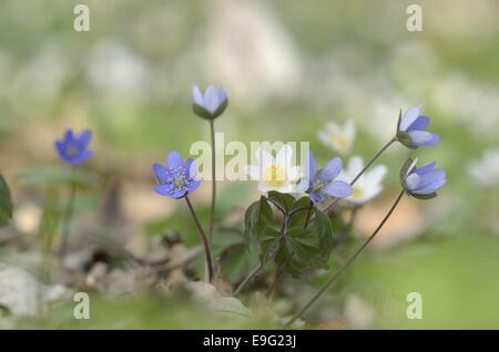Liverwort (Hepatica nobilis) - Stock Photo
