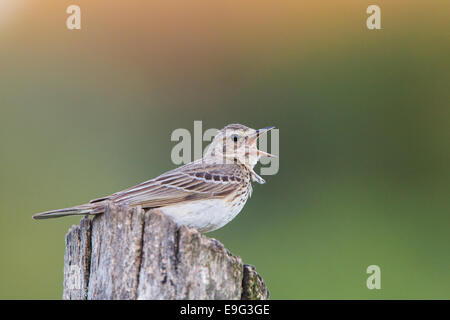 brown tree-pipit [Am.] [Anthus trivialis] - Stock Photo