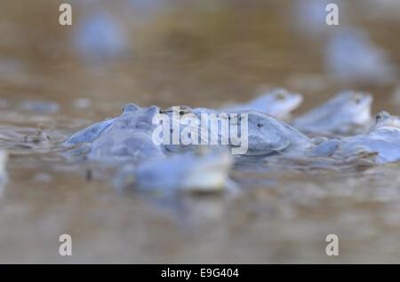 Moor Frog (Rana arvalis), male - Stock Photo
