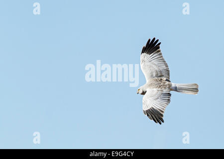 Adult male Hen harrier (Circus cyaneus) in flight against clear blue winter sky hunting for prey over traditional - Stock Photo