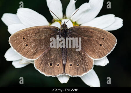 Brown coloured Ringlet (Aphantopus hyperantus) butterfly feeding on nectar of a white Ox-eye daisy flower in an English country meadow Stock Photo