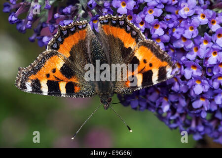 Small Tortoiseshell (Aglais urticae) butterfly feeding on nectar of a buddleia plant in an English country garden - Stock Photo