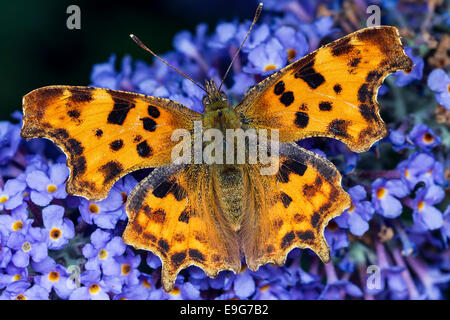 Comma Butterfly (Polygonia c-album) feeding on nectar of a buddleia plant in an English country garden - Stock Photo